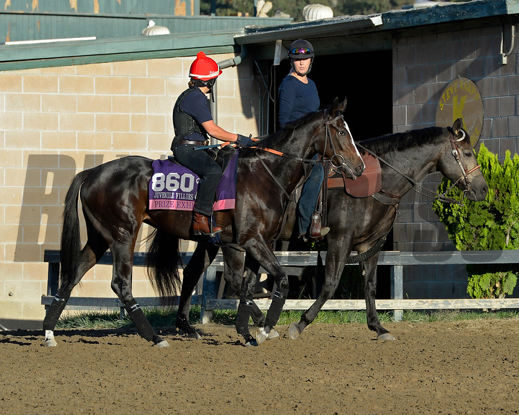 Caption:  Prize Exhibit<br /> Scenes at Santa Anita  on Oct. 29, 2014, in preparation for Breeders' Cup  in California.<br /> 1Origs10_29_14 image746<br /> Photo by Anne M. Eberhardt