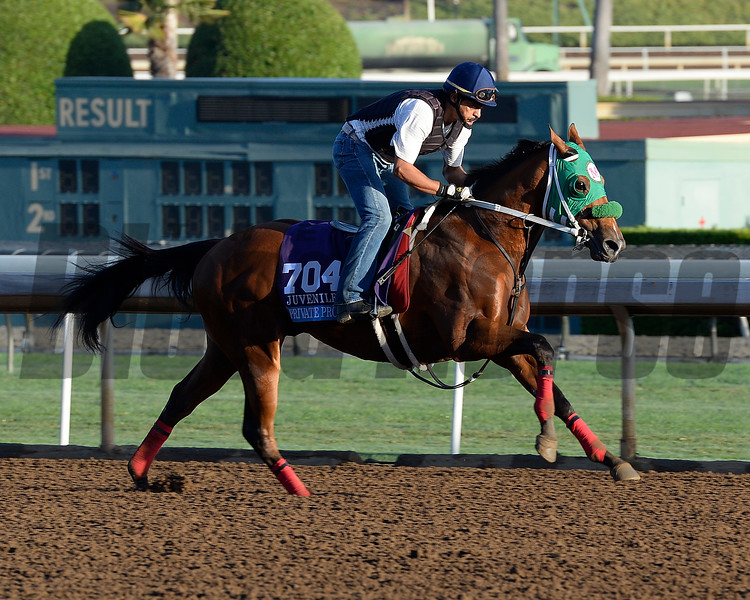 Caption:  Private Prospect<br /> Scenes at Santa Anita  on Oct. 27, 2014, in preparation for Breeders' Cup  in California.<br /> 1Origs10_28_14 image375<br /> Photo by Anne M. Eberhardt