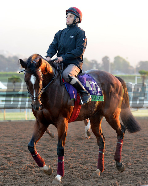 Caption:  Toronado<br /> Scenes at Santa Anita  on Oct. 27, 2014, in preparation for Breeders' Cup  in California.<br /> 1Origs10_28_14 image156<br /> Photo by Anne M. Eberhardt
