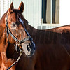 Caption:  Imagining<br /> Scenes at Santa Anita  on Oct. 29, 2014, in preparation for Breeders' Cup  in California.<br /> 1Origs10_29_14 image838<br /> Photo by Anne M. Eberhardt