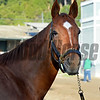 Caption:  Abaco<br /> Scenes at Santa Anita  on Oct. 29, 2014, in preparation for Breeders' Cup  in California.<br /> 1Origs10_29_14 image849<br /> Photo by Anne M. Eberhardt