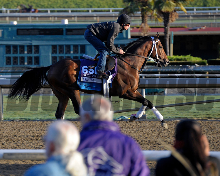 Caption:  Alpha<br /> Breeders' Cup horses and connections at Santa Anita near Acadia, California, preparing for Breeders' Cup raceways on Nov. 1 and Nov. 2, 2013.<br /> BCWorks1Jpegs_10_29_13 image426<br /> Photo by Anne M. Eberhardt