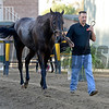 Caption:  Pants on Fire being hotwalked by Kelly Breen<br /> Scenes at Santa Anita  on Oct. 27, 2014, in preparation for Breeders' Cup  in California.<br /> 1Origs10_28_14 image433<br /> Photo by Anne M. Eberhardt