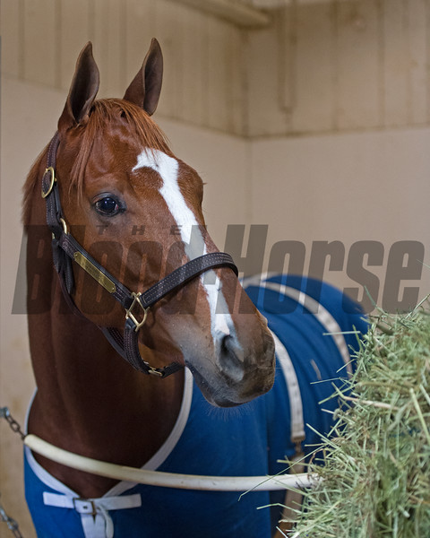 Stellar Wind<br /> Works at Santa Anita in preparation for 2016 Breeders' Cup on Nov. 1, 2016, in Arcadia, CA.