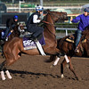Wavell Avenue is fractious while out for a gallop at Santa Anita Nov. 2, 2016 in preparation for her appearance in the Breeders' Cup in Arcadia, California.  Photo by Skip Dickstein