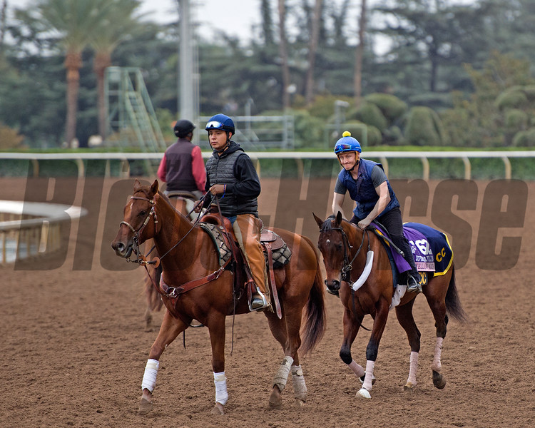 Yellow Agate<br /> Works at Santa Anita in preparation for 2016 Breeders' Cup on Oct. 31, 2016, in Arcadia, CA.