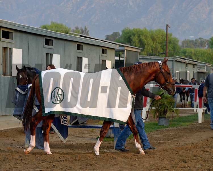 Caption:  California Chrome<br /> Scenes at Santa Anita  on Oct. 30, 2014, in preparation for Breeders' Cup  in California.<br /> 1Origs10_30_14 image924<br /> Photo by Anne M. Eberhardt