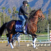 Caption:  Worldly<br /> Breeders' Cup horses and connections at Santa Anita near Acadia, California, preparing for Breeders' Cup raceways on Nov. 1 and Nov. 2, 2013.<br /> BCWorks1Jpegs_10_29_13 image477<br /> Photo by Anne M. Eberhardt