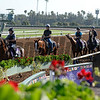 Caption:  Anodin leads group of European horses on the track for the first time<br /> Scenes at Santa Anita in preparation for Breeders' Cup  in California on Oct. 27, 2014.<br /> 2Origs10_27_14 image052<br /> Photo by Anne M. Eberhardt