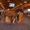 Hip 114 colt by Quality Road out of Hung the Moon at Taylor Made<br /> Sales scenes at Fasig-Tipton in Saratoga Springs, N.Y. on Aug. 10, 2021.