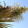 2013-04-21 Boron Joshua tree 5