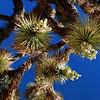2013-04-21 Boron Joshua tree 3