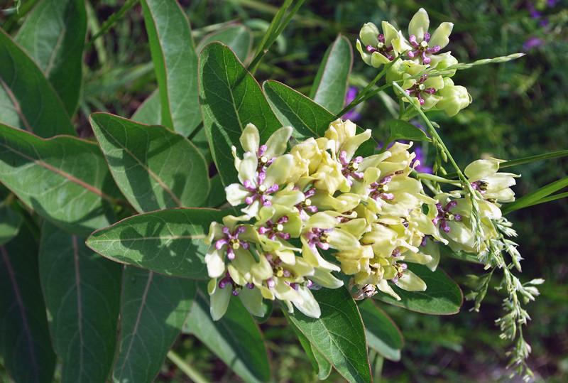 2012-05-06 milkweed