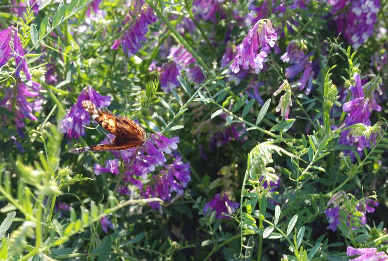 2012-05-05 vetch w butterfly
