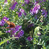 2012-05-05 vetch w butterfly