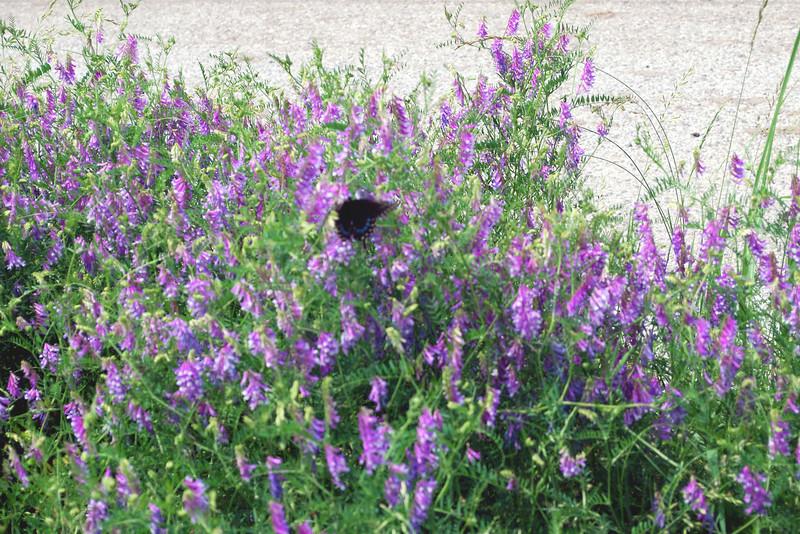 2012-05-06 vetch w black swallowtail