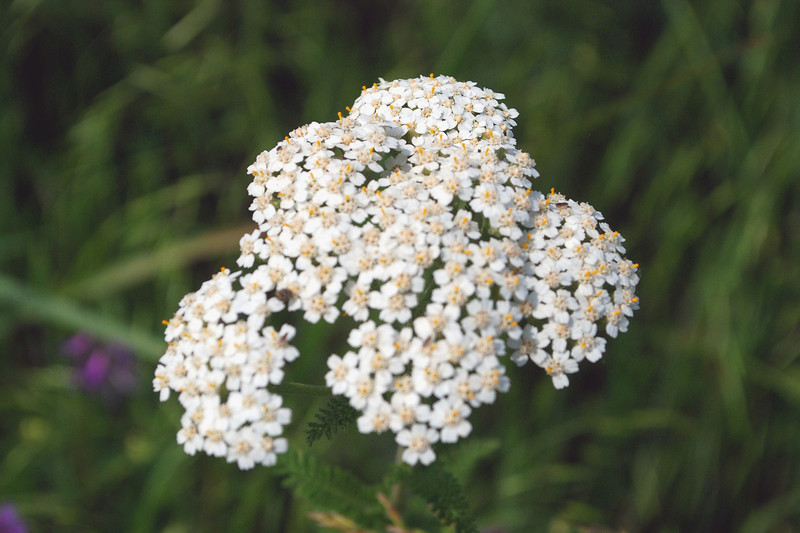 2012-05-06 white flowers