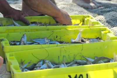 Arte Xavega 8. escolher o peixe