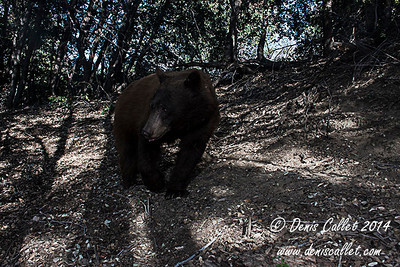 Southern California Black Bear