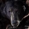 Southern California Black Bear