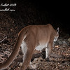 Mtn Lion (Puma) Remote Capture