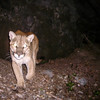 Mtn Lion capture on a homebrew trail cam