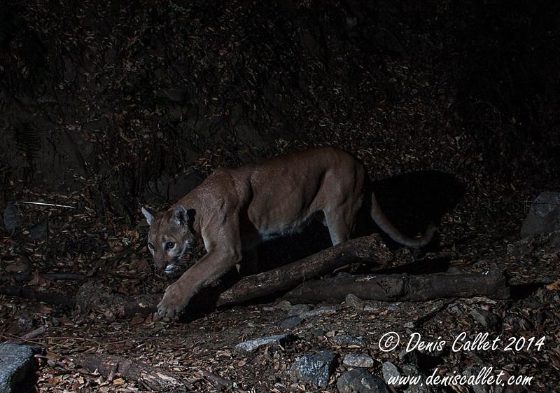Mtn Lion (Puma) Remote Capture