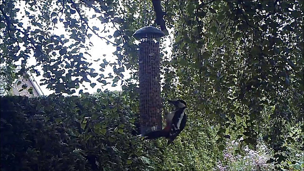 Great Spotted Woodpecker on the Feeder