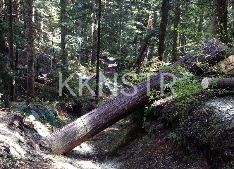 One of the big tree across the Hollyburn Chute Trail