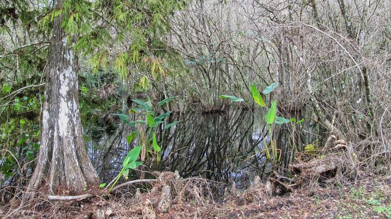 pop-ash swamp