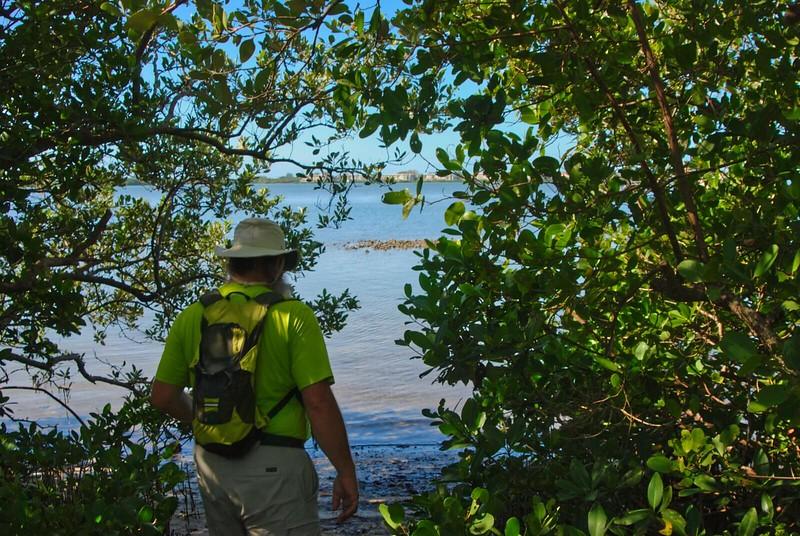 Mangroves Lemon Bay