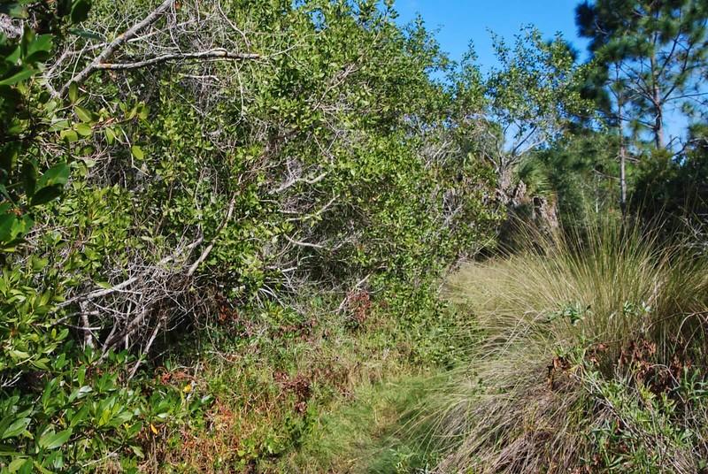 Needlerush and mangroves