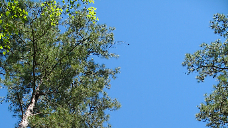 Pines overhead