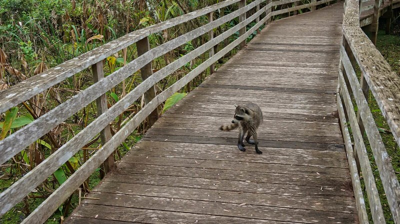 raccoon on boardwalk