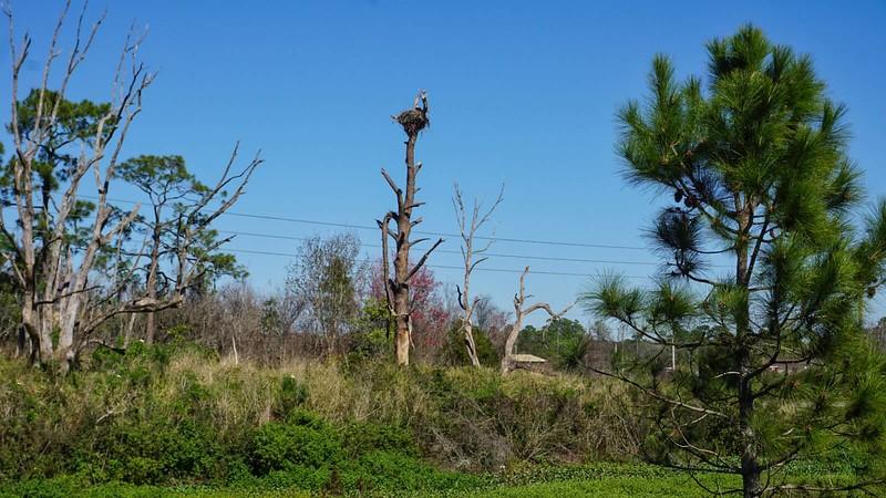 Osprey nest Jones Avenue STA