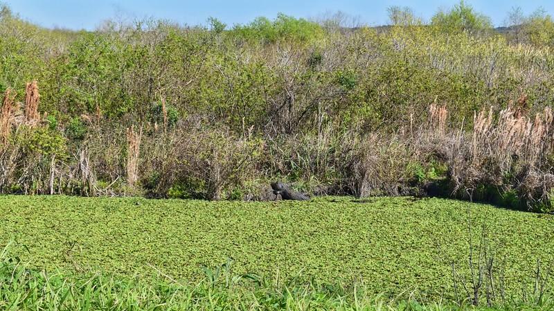Lake Apopka alligator
