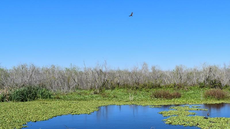 Willow marsh Lake Apopka