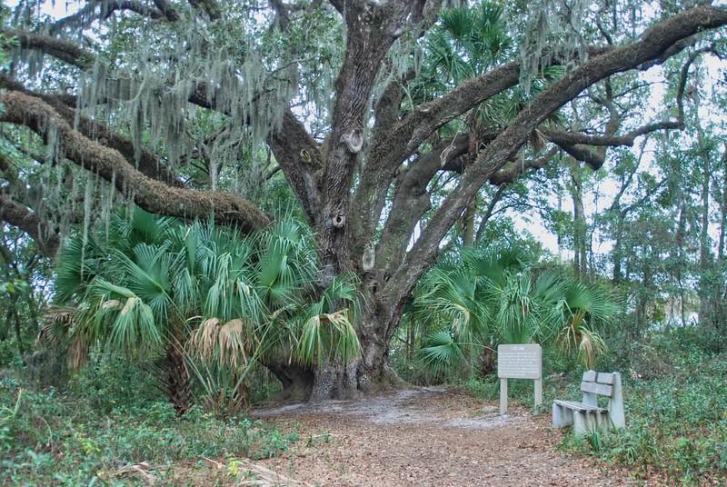 Mammoth Live Oak