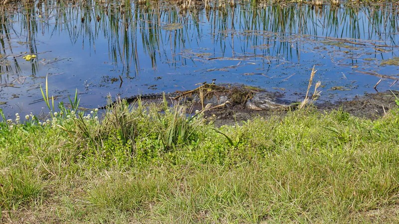 Alligator resting at Orlando Wetlands