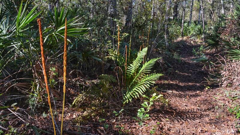 Cinnamon Fern Trail