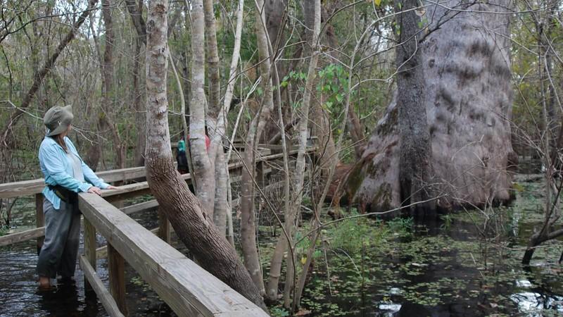 Big cypress along Lake Jesup boardwalk