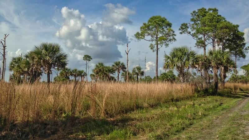 Grasses under pines