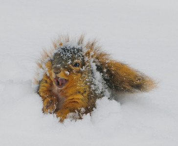 Cold but fun! A young squirrel discovers snow.