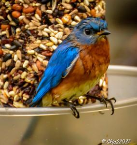 Male bluebird surveying the backyard buffet.
