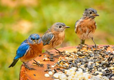 Bedraggled bluebirds...