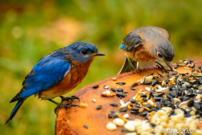 Male and female bluebirds...