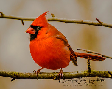 Northern cardinal-male