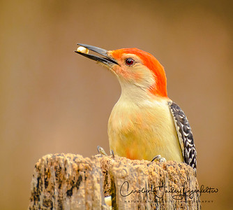 Redbellied woodpecker-male