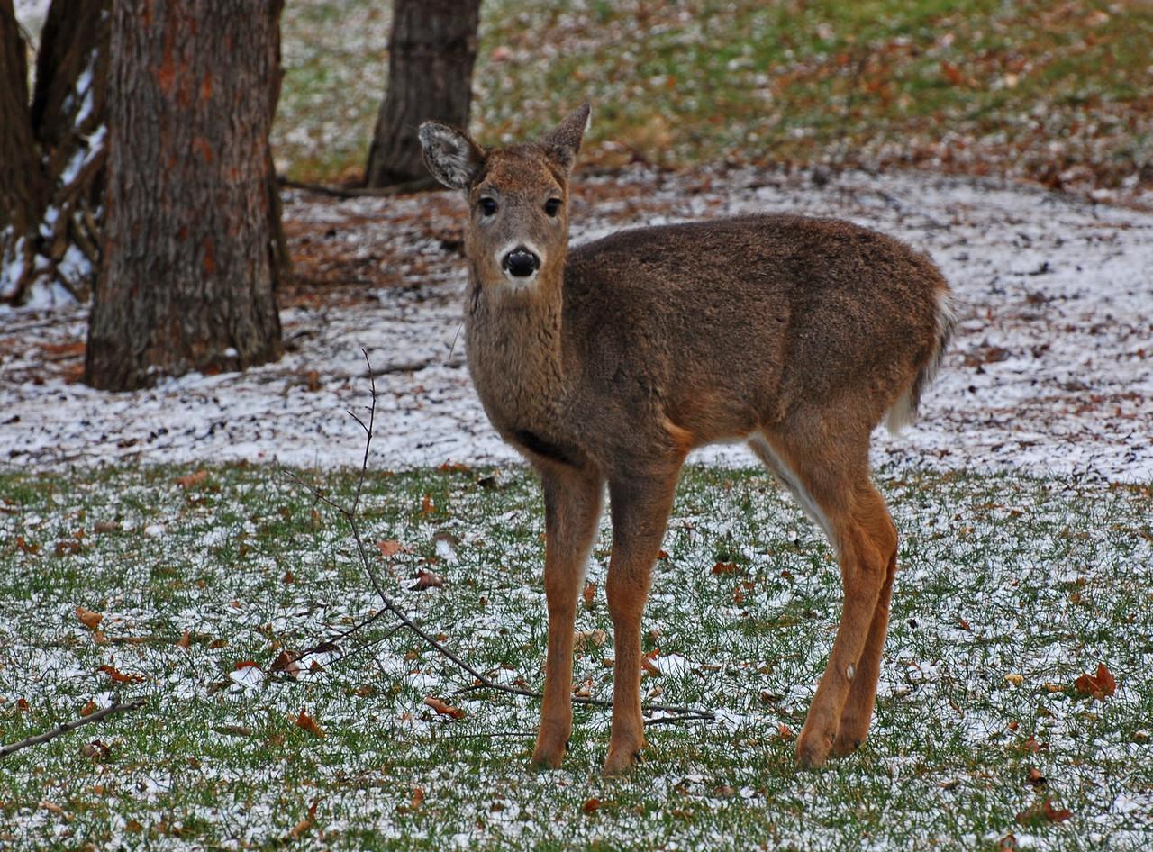 Smallest deer