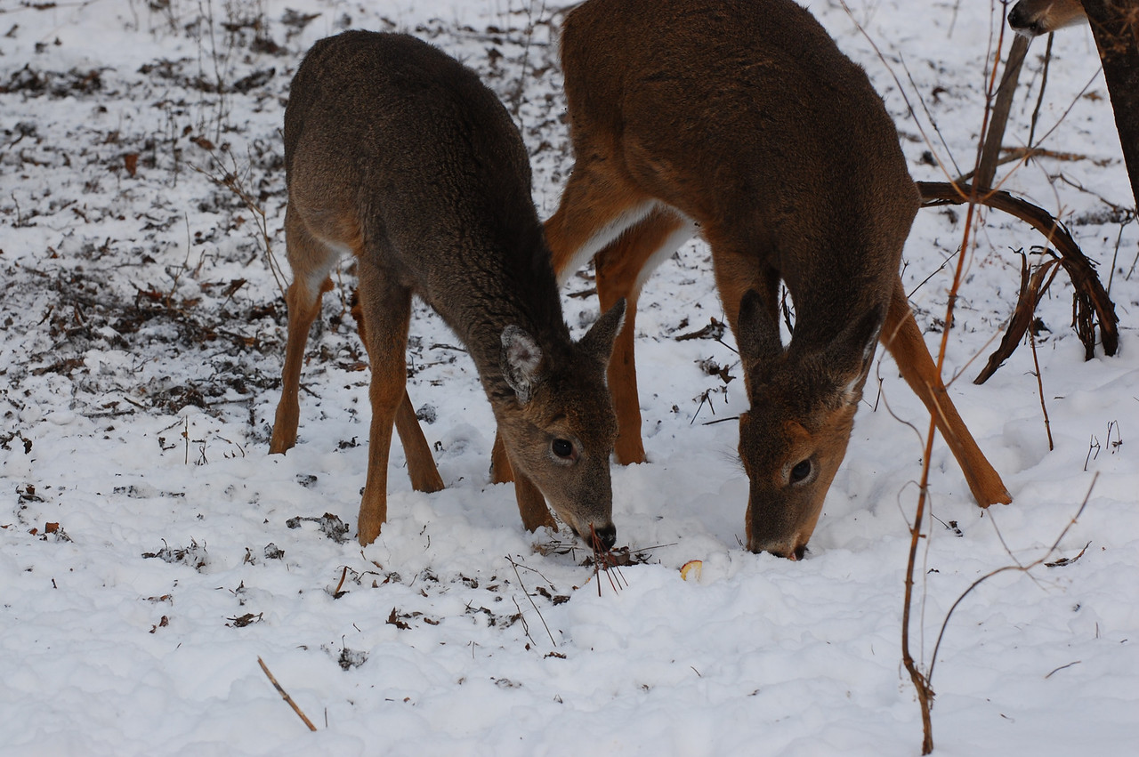 Apples for the deer
